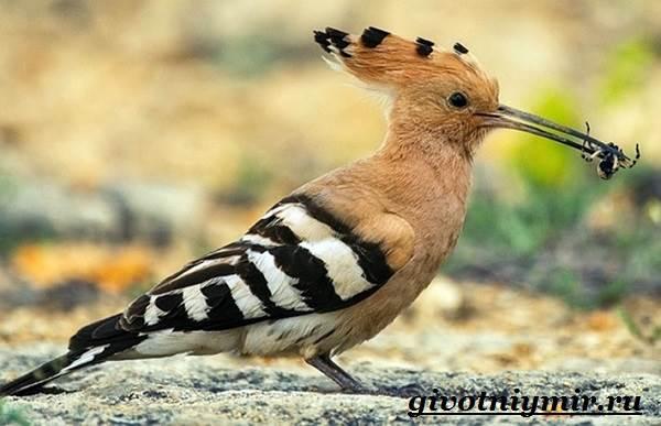 Удод-птица-Среда-обитания-и-образ-жизни-удода-5