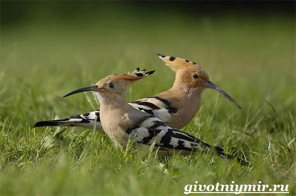 Удод-птица-Среда-обитания-и-образ-жизни-удода-6