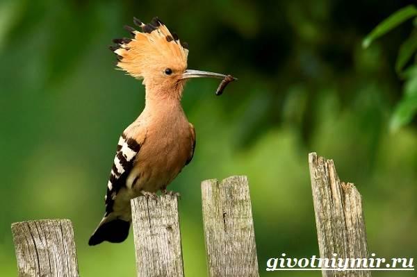 Удод-птица-Среда-обитания-и-образ-жизни-удода-7