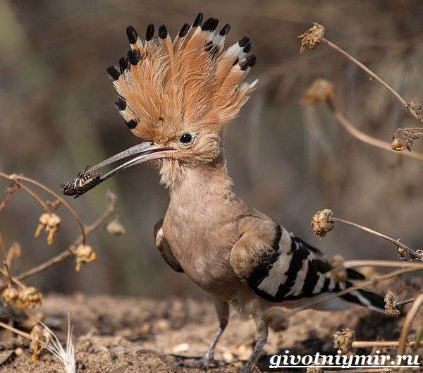 Удод-птица-Среда-обитания-и-образ-жизни-удода-8
