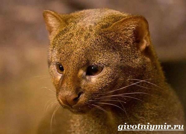 Ягуарунди-Образ-жизни-и-среда-обитания-ягуарунди-2