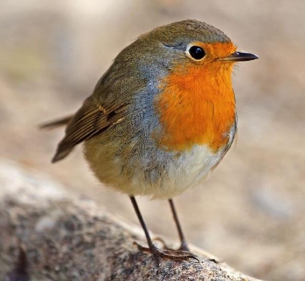 Зарянка-птица-Образ-жизни-и-среда-обитания-птицы-зарянки-1