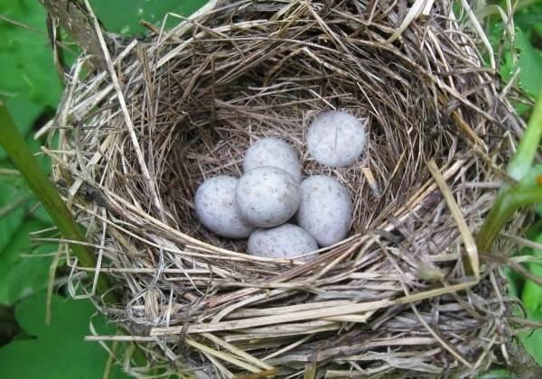 Зарянка-птица-Образ-жизни-и-среда-обитания-птицы-зарянки-20