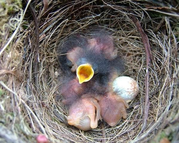 Зарянка-птица-Образ-жизни-и-среда-обитания-птицы-зарянки-21