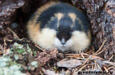Лемминг животное. Образ жизни и среда обитания лемминга