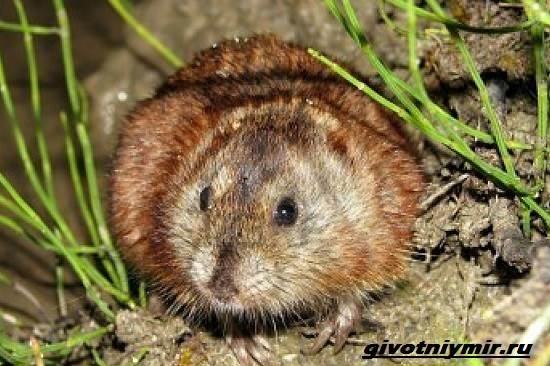 Лемминг-животное-Образ-жизни-и-среда-обитания-лемминга-3