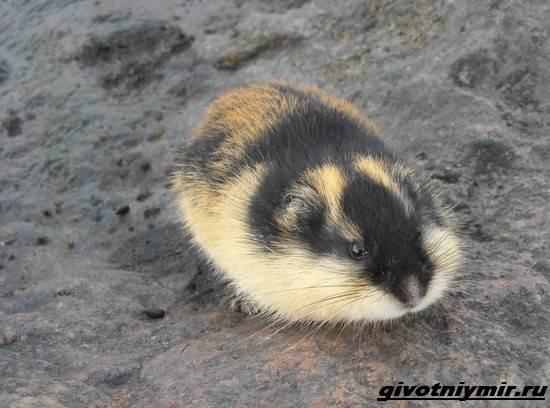 Лемминг-животное-Образ-жизни-и-среда-обитания-лемминга-5