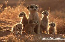 Сурикат животное. Среда обитания и образ жизни суриката