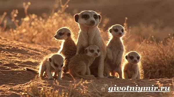 Сурикат-животное-Среда-обитания-и-образ-жизни-суриката-10
