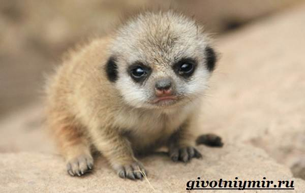 Сурикат-животное-Среда-обитания-и-образ-жизни-суриката-12