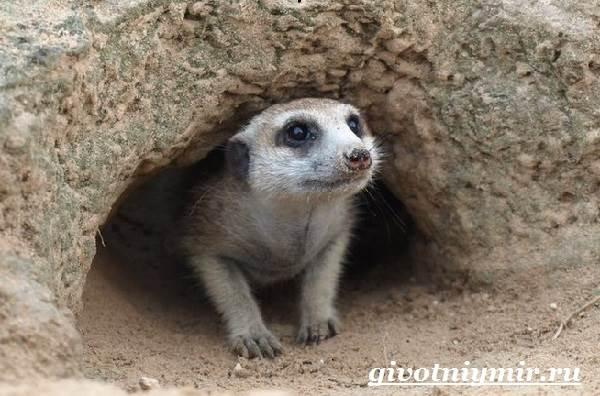 Сурикат-животное-Среда-обитания-и-образ-жизни-суриката-4