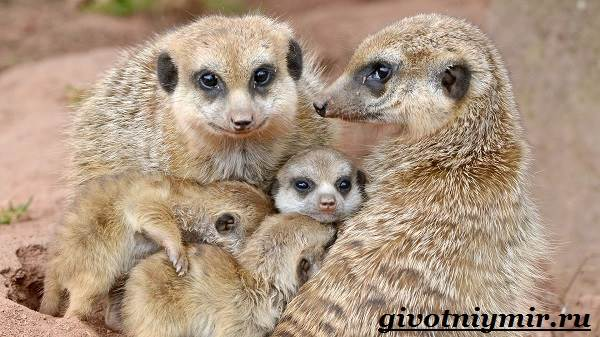Сурикат-животное-Среда-обитания-и-образ-жизни-суриката-7