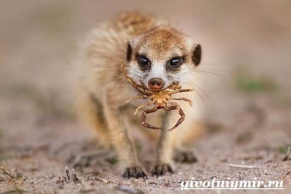 Сурикат-животное-Среда-обитания-и-образ-жизни-суриката-9