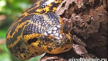 Анаконда змея. Образ жизни и среда обитания анаконды