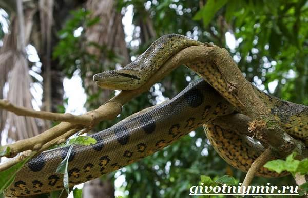 Анаконда-змея-Образ-жизни-и-среда-обитания-анаконды-5