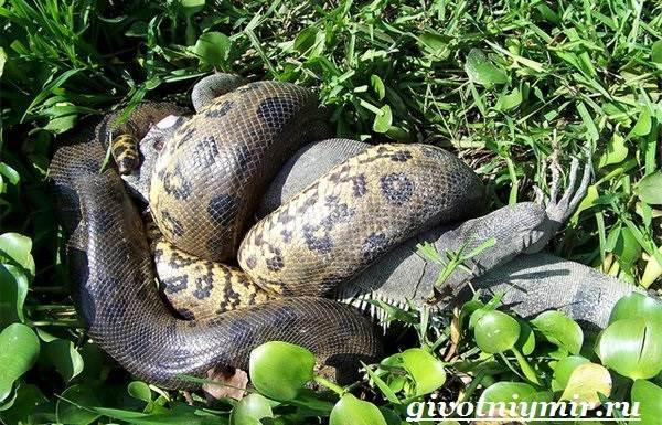 Анаконда-змея-Образ-жизни-и-среда-обитания-анаконды-6