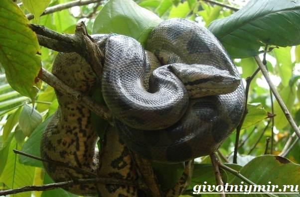 Анаконда-змея-Образ-жизни-и-среда-обитания-анаконды-7