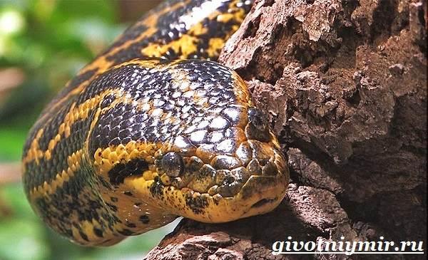 Анаконда-змея-Образ-жизни-и-среда-обитания-анаконды