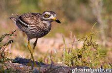 Авдотка птица. Среда обитания и образ жизни авдотки