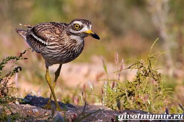 Авдотка-птица-Среда-обитания-и-образ-жизни-авдотки-1