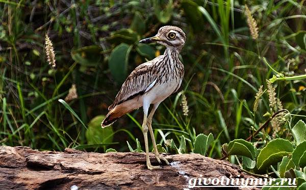 Авдотка-птица-Среда-обитания-и-образ-жизни-авдотки-2