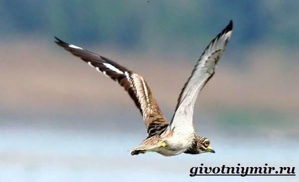 Авдотка-птица-Среда-обитания-и-образ-жизни-авдотки-3