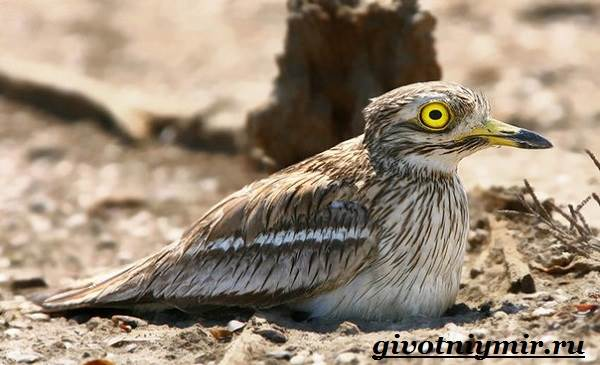 Авдотка-птица-Среда-обитания-и-образ-жизни-авдотки-5
