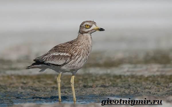 Авдотка-птица-Среда-обитания-и-образ-жизни-авдотки-6