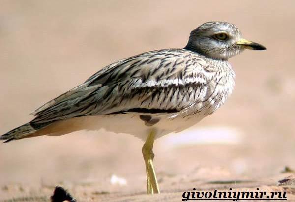 Авдотка-птица-Среда-обитания-и-образ-жизни-авдотки-8