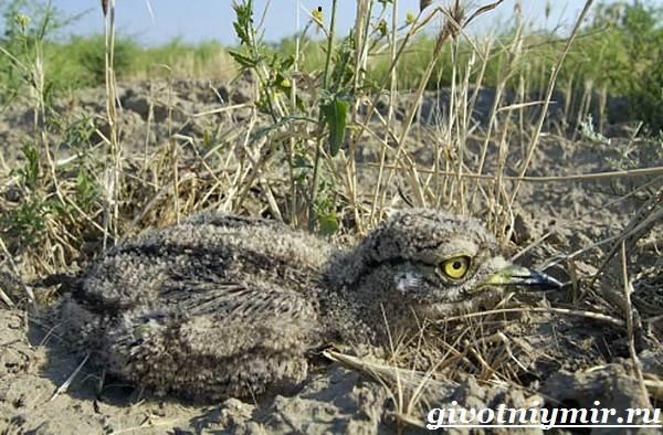 Авдотка-птица-Среда-обитания-и-образ-жизни-авдотки-9