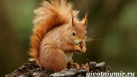 Белка животное. Среда обитания и образ жизни белки