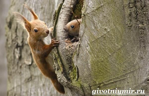 Белка-животное-Среда-обитания-и-образ-жизни-белки-3