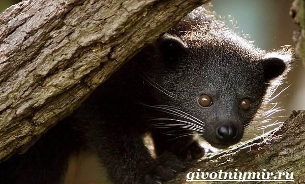 Бинтуронг-животное-Среда-обитания-и-образ-жизни-бинтуронга-1