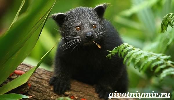 Бинтуронг-животное-Среда-обитания-и-образ-жизни-бинтуронга-12