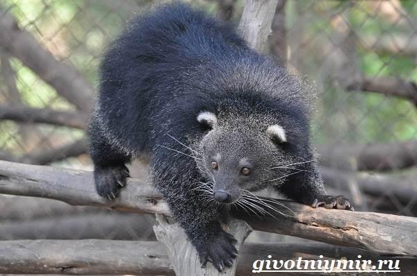 Бинтуронг-животное-Среда-обитания-и-образ-жизни-бинтуронга-2