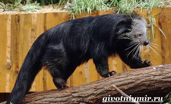 Бинтуронг-животное-Среда-обитания-и-образ-жизни-бинтуронга-3