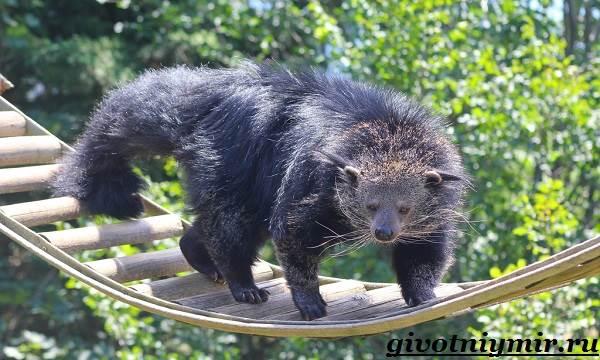 Бинтуронг-животное-Среда-обитания-и-образ-жизни-бинтуронга-4