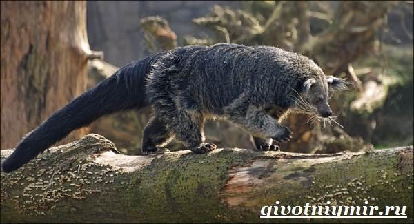 Бинтуронг-животное-Среда-обитания-и-образ-жизни-бинтуронга-6