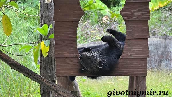 Бинтуронг-животное-Среда-обитания-и-образ-жизни-бинтуронга-8