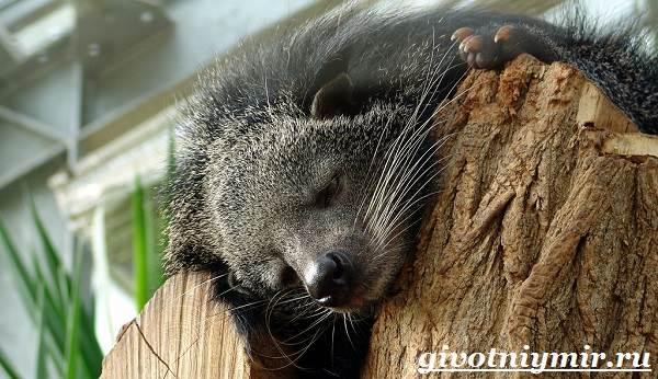 Бинтуронг-животное-Среда-обитания-и-образ-жизни-бинтуронга-9
