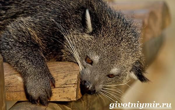Бинтуронг-животное-Среда-обитания-и-образ-жизни-бинтуронга