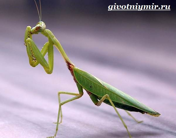 Богомол-насекомое-Образ-жизни-и-среда-обитания-богомола-7