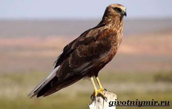Болотный-лунь-птица-Образ-жизни-и-среда-обитания-болотного-луня-1
