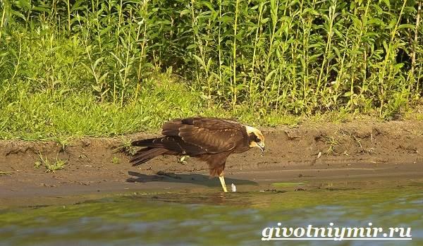 Болотный-лунь-птица-Образ-жизни-и-среда-обитания-болотного-луня-2