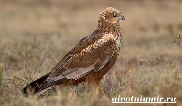 Болотный-лунь-птица-Образ-жизни-и-среда-обитания-болотного-луня-3