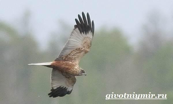 Болотный-лунь-птица-Образ-жизни-и-среда-обитания-болотного-луня-4