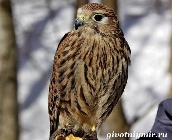 Болотный-лунь-птица-Образ-жизни-и-среда-обитания-болотного-луня-5