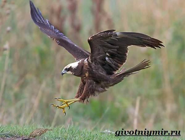 Болотный-лунь-птица-Образ-жизни-и-среда-обитания-болотного-луня-6