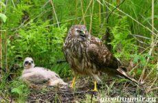 Болотный лунь птица. Образ жизни и среда обитания болотного луня