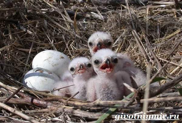 Болотный-лунь-птица-Образ-жизни-и-среда-обитания-болотного-луня-9